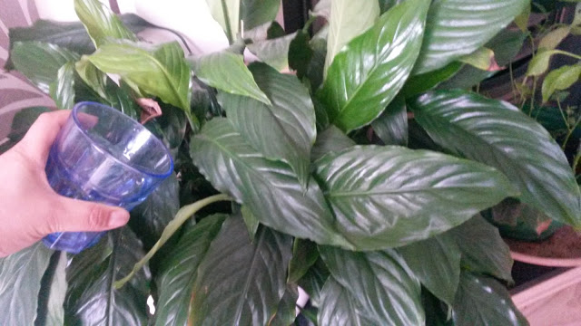 water saving, house plant, making do, reuse, sustainable, zero waste, thrifty living, thrifty tips