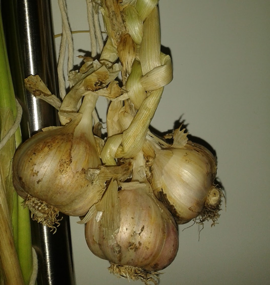 how to store garlic, homegrown garlic, home grown garlic,